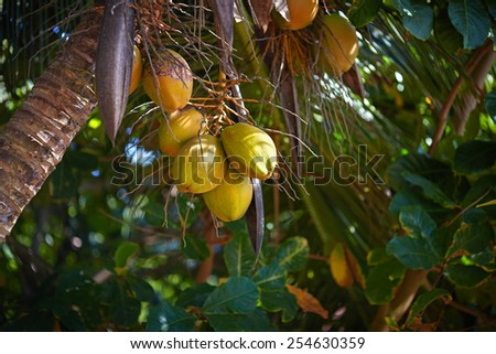 Ripe yellow coconuts hanging on a palm tree. The sun shines brightly through the green foliage