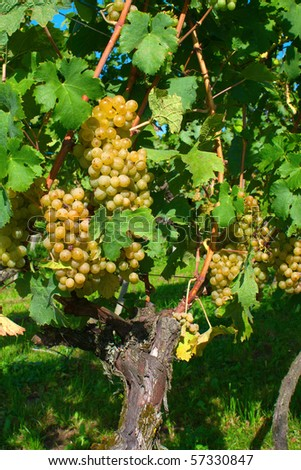 Ripe yellow grapes in the vineyard - stock photo