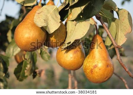 Ripe yellow pears - stock photo