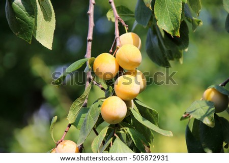 Ripe yellow plums in the summer garden