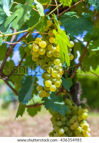Ripe, yellow vine closeup, against the background of the vineyard. Yellow grapes with green leaves on the vine. - stock photo