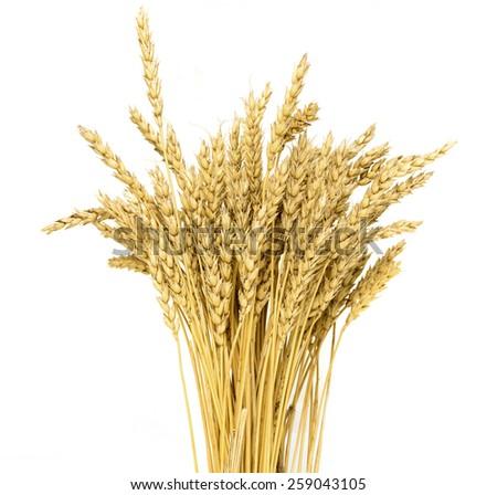 ripe yellow wheat ears - stock photo