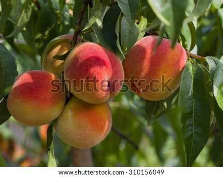 Riped juicy peaches on the tree just before harvest in the summer sunny day in the garden, organic fruits. - stock photo