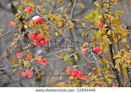 ripen apples on branch in late fall - stock photo
