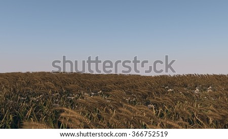 ripen wheat field - stock photo