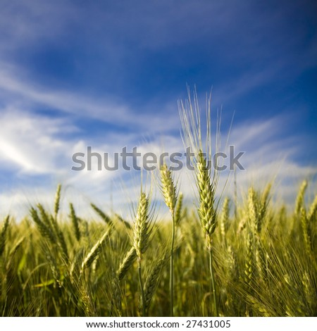 Ripened spikes of wheat field against a clear blue sky - stock photo