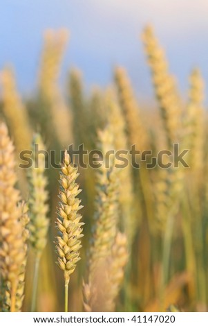 Ripened wheat ready for harvest - stock photo