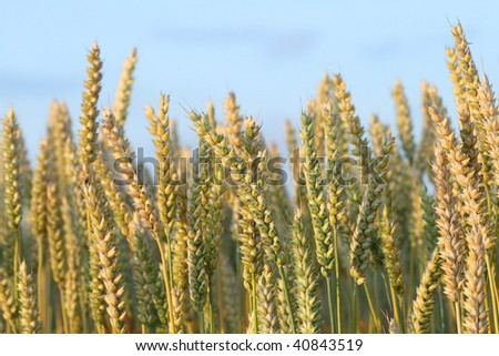 Ripened wheat ready for harvest - Drenthe, The Netherlands - stock photo