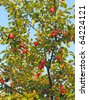 Ripening apples on tree branch - stock photo