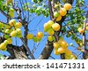 Ripening apricots on a tree - stock photo