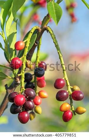 Ripening berries cherry laurel (Prunus laurocerasus) on a branch - stock photo