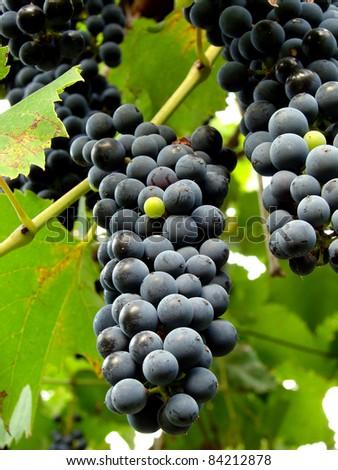 ripening black grape clusters on the vine - stock photo