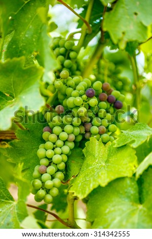 Ripening Blauer Portugeiser grape cluster with several blue  - stock photo
