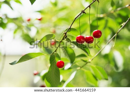 Ripening cherries on a tree in the garden on the farm. Ripe red fruit. Organic farming - stock photo