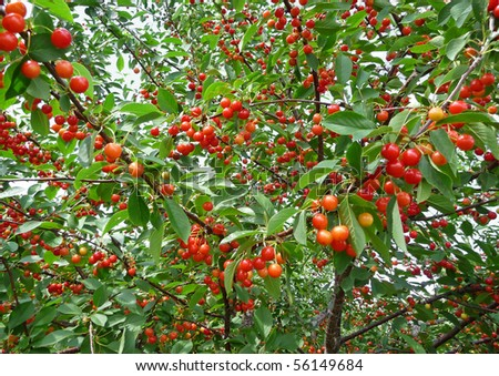 Ripening cherries on orchard tree - stock photo