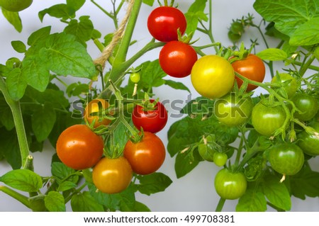 Ripening cherry tomatoes in greenhouse.