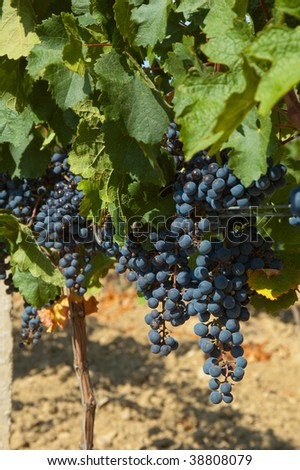 Ripening cluster of wine grapes surrounded by leaves - stock photo