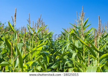 Ripening corn under an autumn sky
