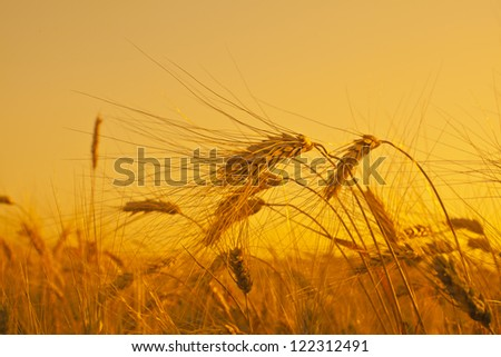 ripening ears of wheat field on the background of the setting sun on blue sky - stock photo