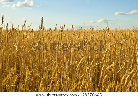 ripening ears of wheat field on the background of the setting sun on blue sky with clouds Wheat field and blue sky with clouds - stock photo