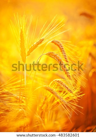 Ripening ears of yellow wheat field on the sunset sky background. Nature photo Idea of rich harvest.