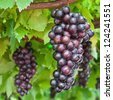 ripening grape clusters on the vine - stock photo