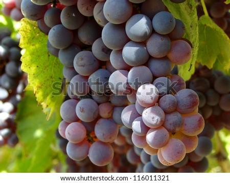 ripening grape clusters on vine - stock photo