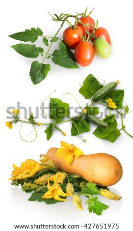 Ripening large raw tasty succulent courgette cucurbitaceae family and plum tomato production grow on vine twig with vibrant green leaves and big bright orange buds. Closeup view with clipping path - stock photo