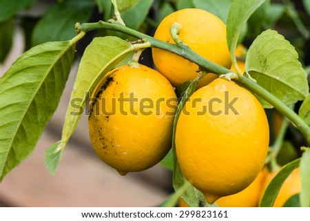 Ripening orange fruit on small trees with green leaves