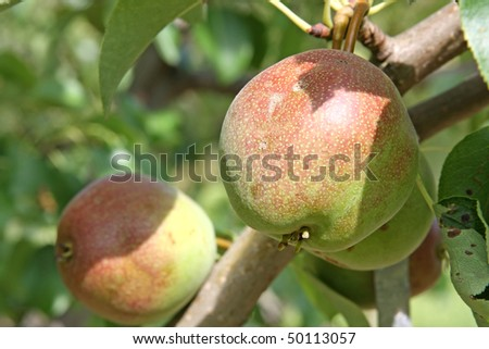 Ripening pears on tree branch - stock photo