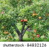 Ripening red apples on a tree in an English Orchard - stock photo