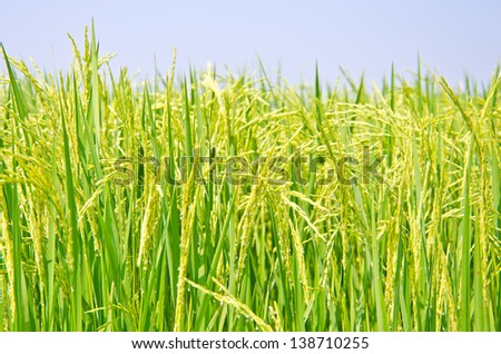 Ripening rice in a paddy field - stock photo