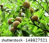 Ripening Sapodilla fruits in an organic garden. Other names - Zapota, Chikkoo, Sapota (in India). Sapodilla is a tropical, evergreen tree fruit (berry) with exceptionally sweet and malty flavor.  - stock photo