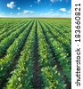 Ripening soybean plants out on field. - stock photo