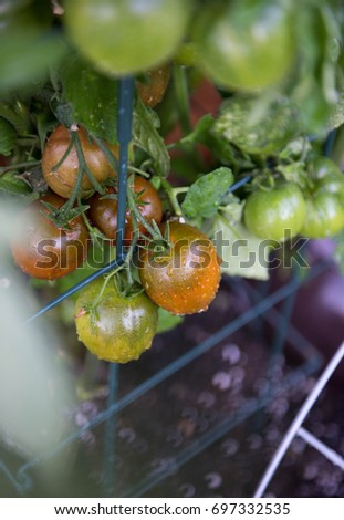 Ripening Tomatoes in Garden