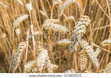 Ripening wheat in the summer season ready for harvesting and threshing by the combine. - stock photo