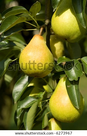 Riper pear detail - stock photo
