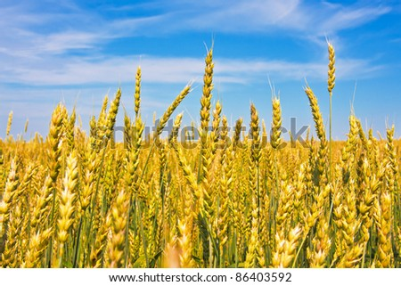 Ripping wheat ears beneath cloudy sky in fine summer day - stock photo
