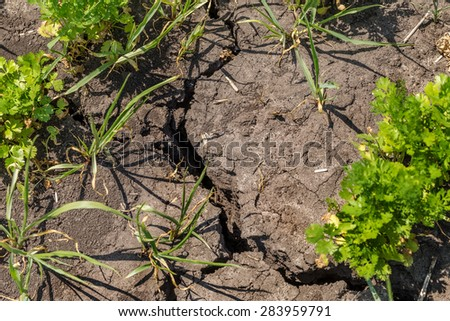 Rising sprout on dry cracked ground. Ecological disaster. The zone of risky agriculture with crops need irrigation. Plantation carrots in the period of drought