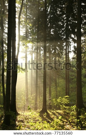 Rising sun enters the coniferous forest on a foggy spring day. - stock photo