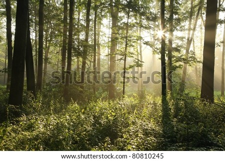 Rising sun enters the deciduous forest on a misty summer day.