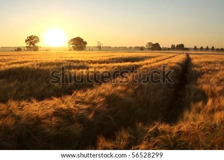 Rising sun illuminates the field of grain in a cloudless summer day. - stock photo