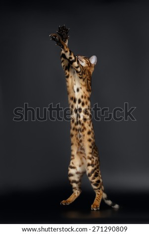 Rising up Paws  Playful Bengal Cat on Black Background - stock photo