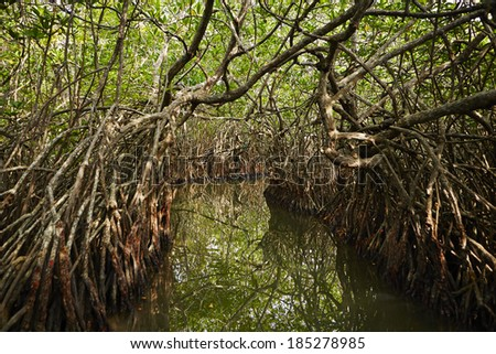 River between the mangrove trees in Sri Lanka - stock photo