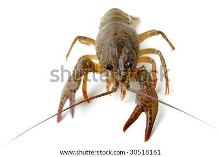 River crayfish isolated on a white background. - stock photo