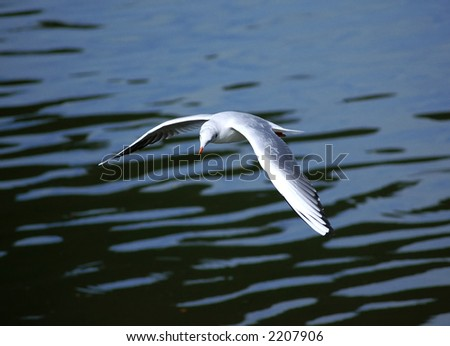 River gull cruise with spread wings over the water - stock photo