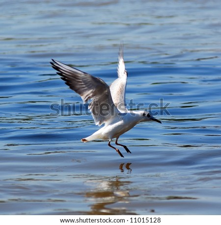 River gull hunting - stock photo