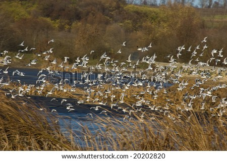 river gulls fly - stock photo