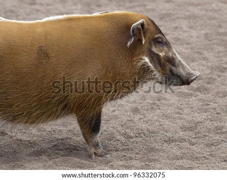 River hogs, Potamochoerus porcus pictus - stock photo