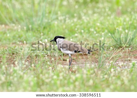River Lapwing, Asian Spur-winged Plover  - stock photo